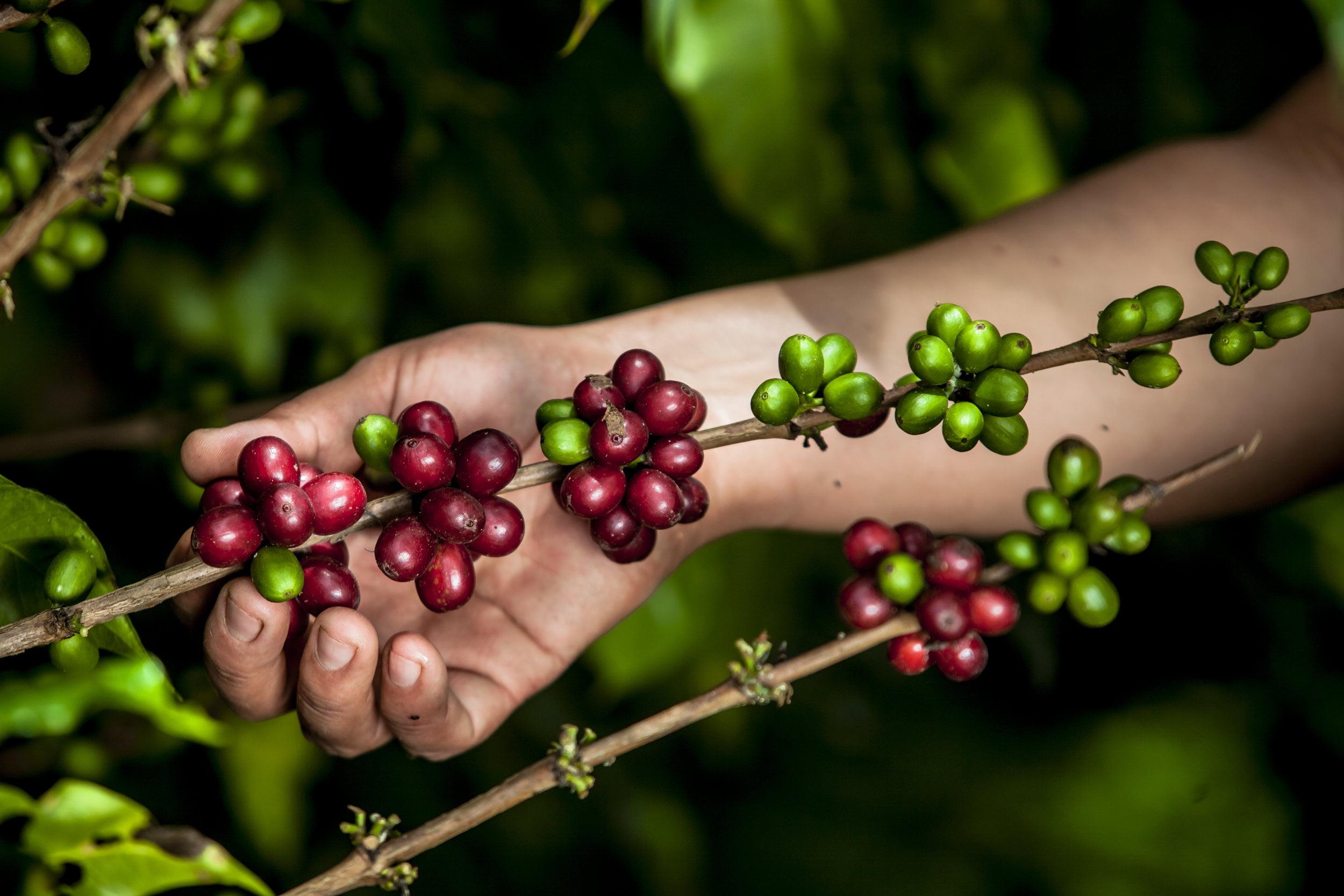 Día Internacional del Café: retos del sector en medio de la pandemia por el COVID-19