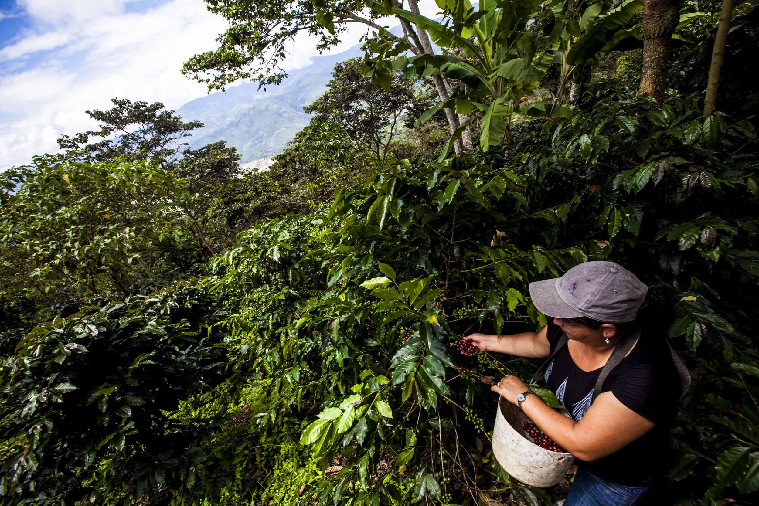 Nace clúster de café en la Selva Central
