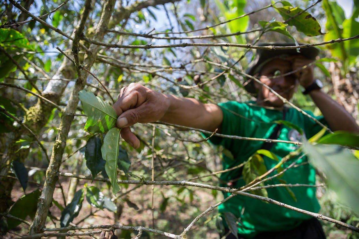 La roya: plaga catastrófica para el café