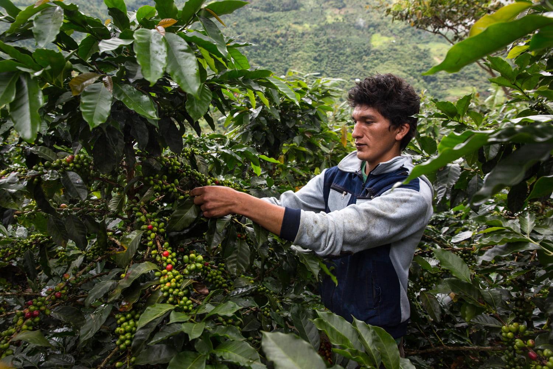 El norte es la zona con la mayor producción de café del Perú