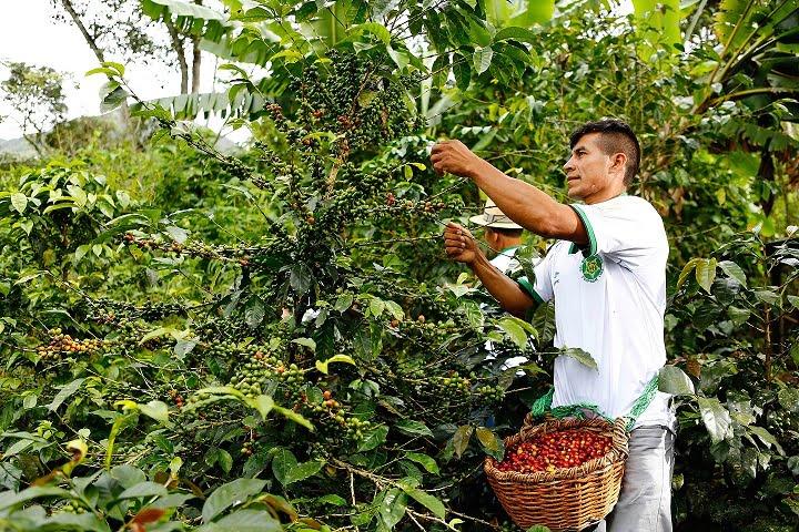 Café que cuida el bosque de Alto Mayo