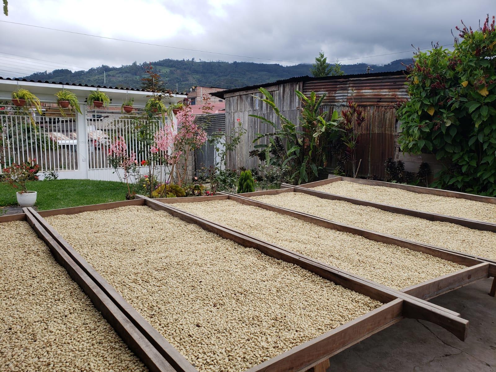 Ucumari: café de montaña alista su nueva cosecha del 2020