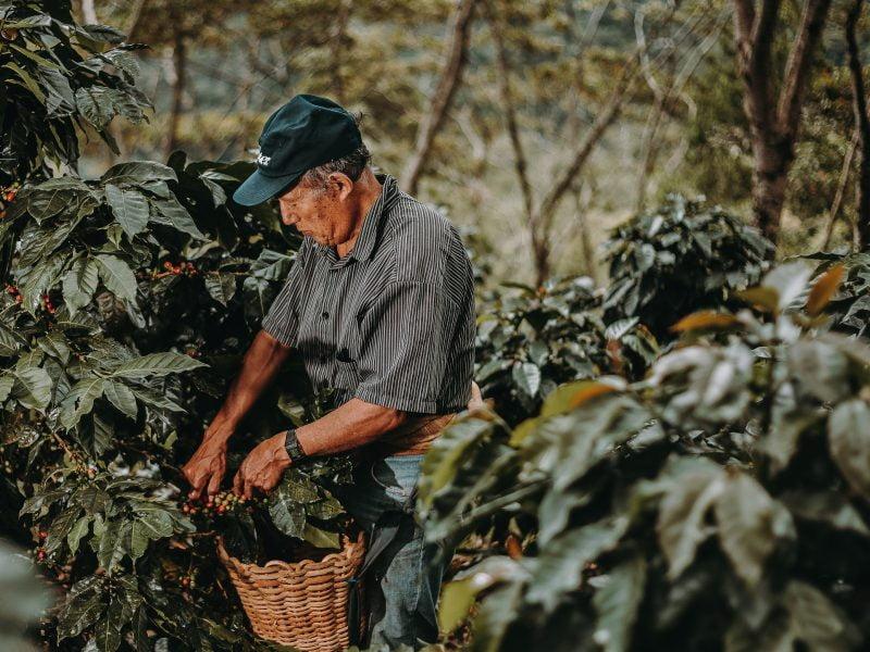 Adultos mayores detrás de iniciativas cafetaleras en Villa Rica y Huánuco