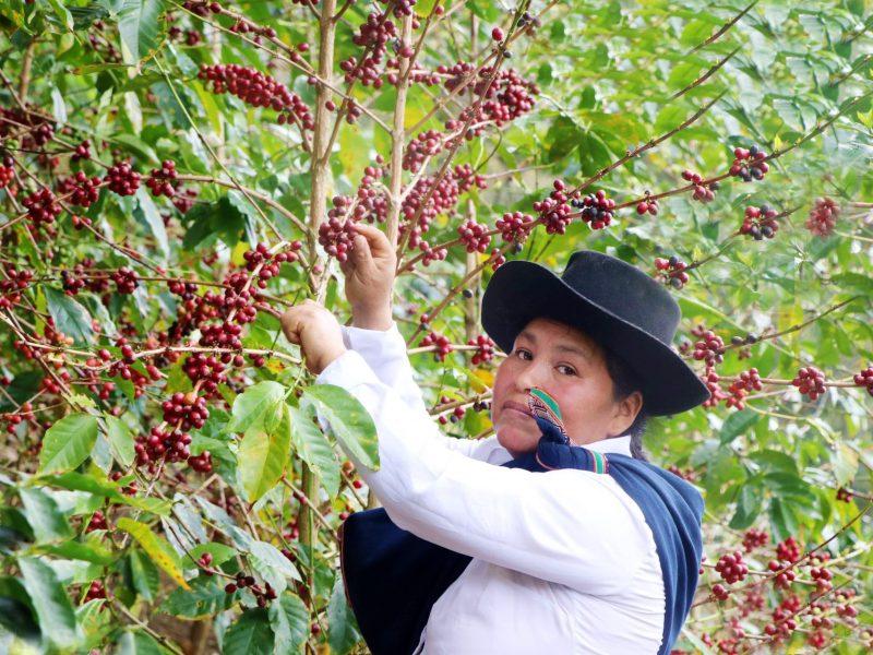 El mejor café del Perú 2020 es de Hilda Leguía Gonzales y se produce en Cusco