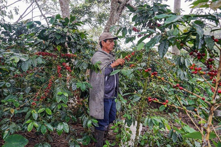 Buenas prácticas agrícolas en café contra el cambio climático
