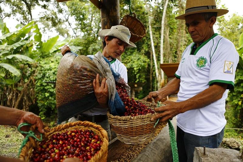 Café y cacao sostenibles que regeneran el paisaje amazónico en San Martín